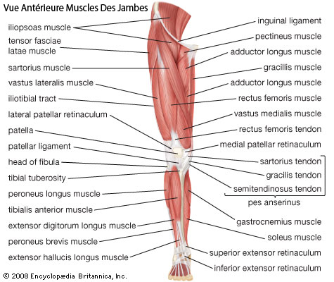 leg-muscles french